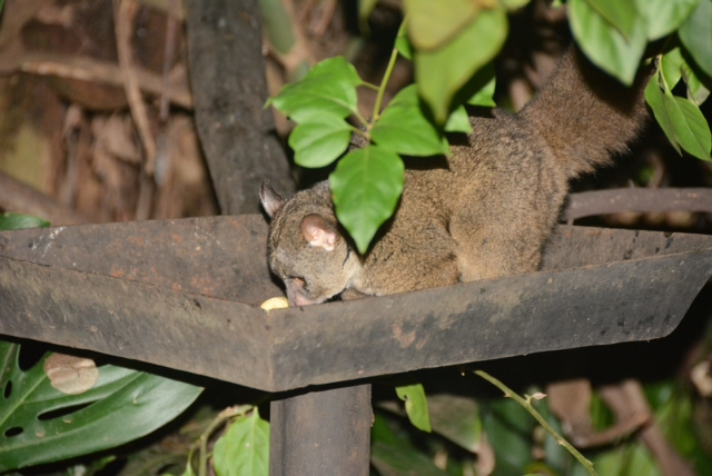 Greater Galago (Bushbaby) at Gibb's Farm