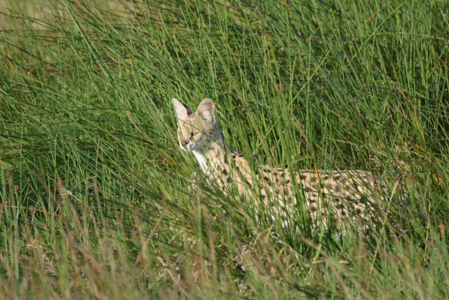 A wonderful Serval Cat