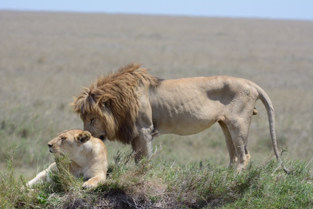 A mating pair of Serengeti lions