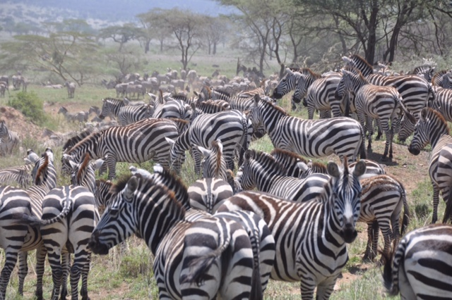 An enormous herd of zebra