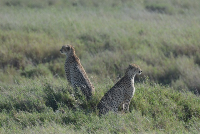 A pair of hunting cheetah