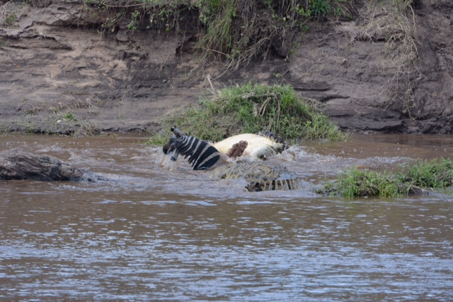 Two ten-foot Nile crocodiles battling over a zebra