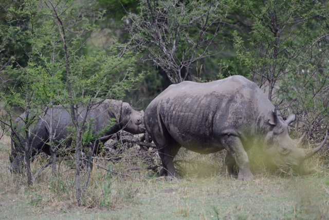 Mother and baby rhino in the Northern Serengeti