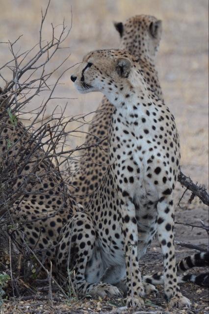 A trio of cheetah - a rare site