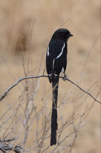 A Magpie Shrike