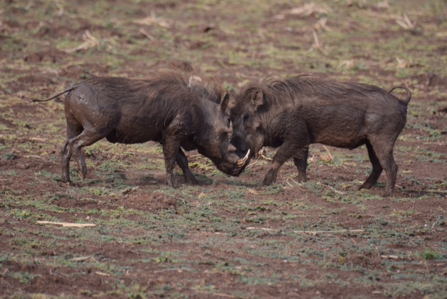 Warring Warthogs!