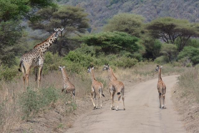 Rare quadruplet giraffes!