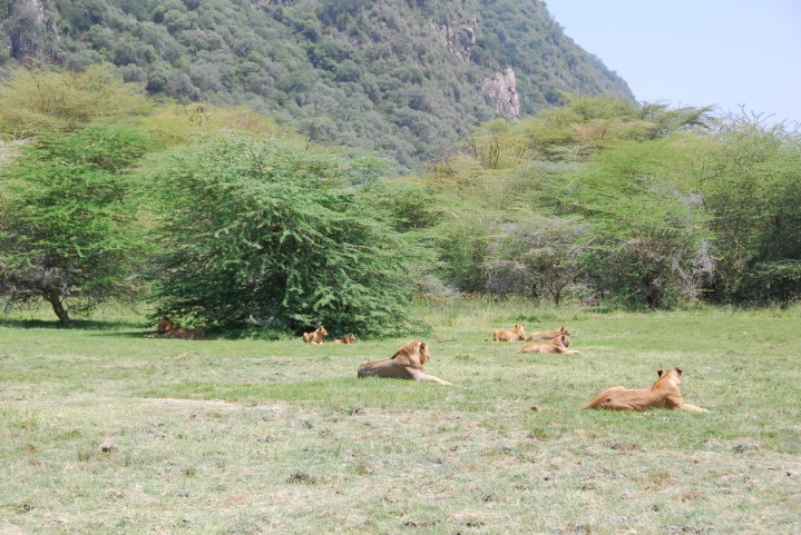 Our pride of lions in Manyara