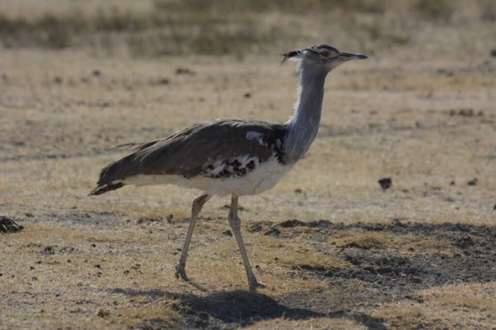 Cory Bustard - Heaviest Flying Bird in Africa