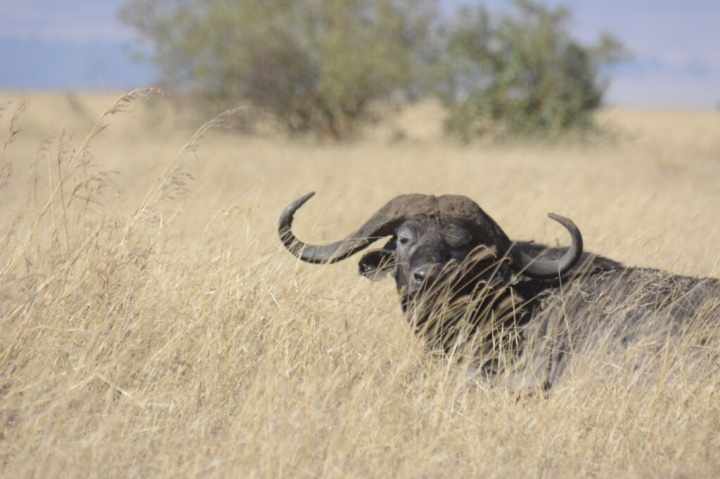 A Watchful Bull Cape Buffalo