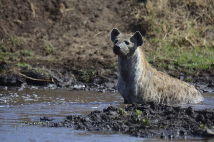 Bathing Hyena on High Alert