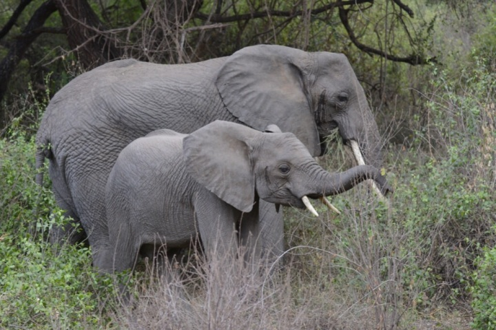 Elephants in Manyara (photo by Fima)