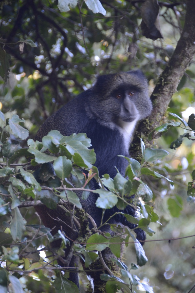 A very large blue monkey