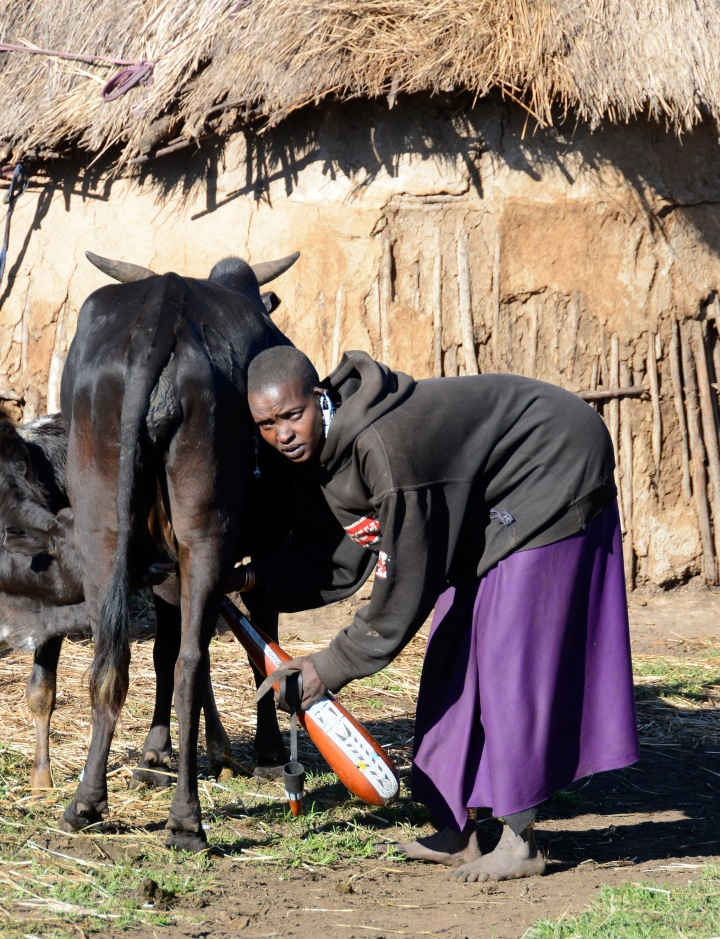 Filling her calabash with fresh milk