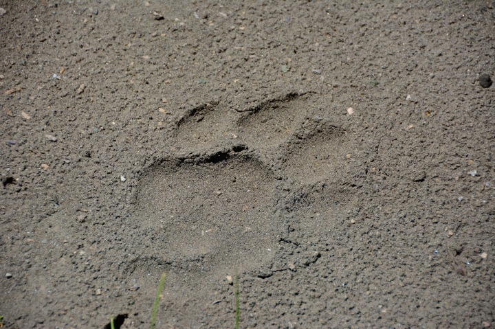 A large and fresh lion paw print