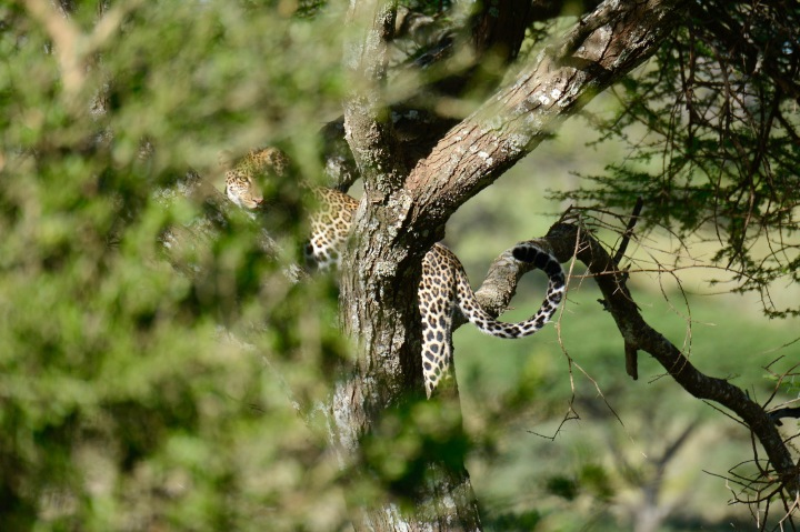 The elusive leopard climbing its tree