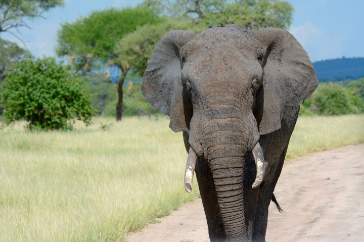 A determined bull elephant blocking our way