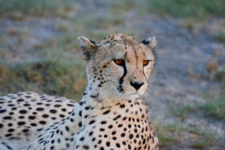 The Golden Eyes of Cheetah