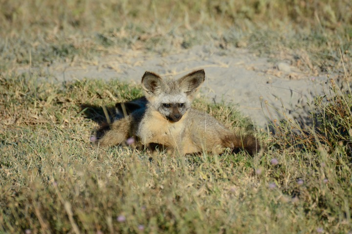A bat-eared fox on top of its burrow