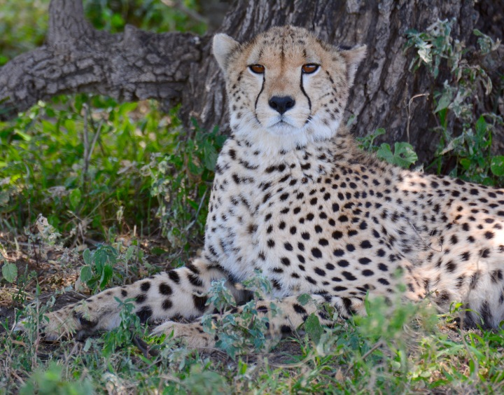 A cheetah along the Endolen road