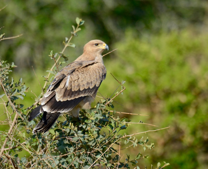 A tawny eagle