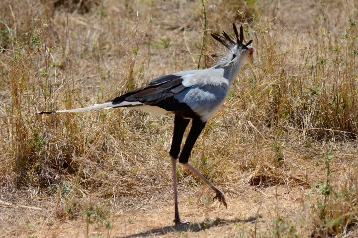 A male secretary bird strutting his stuff