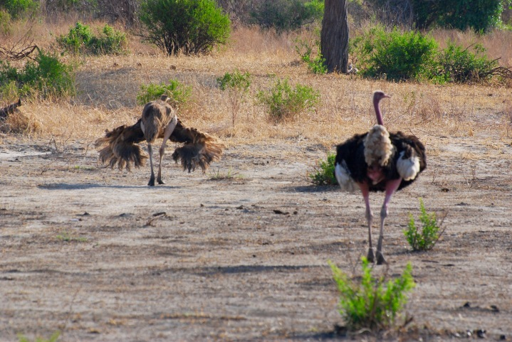 Mr. and Mrs. Ostrich (with the Mrs. putting on a show for him)