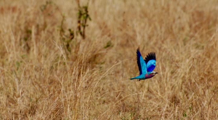 A lilac-breasted roller in flight