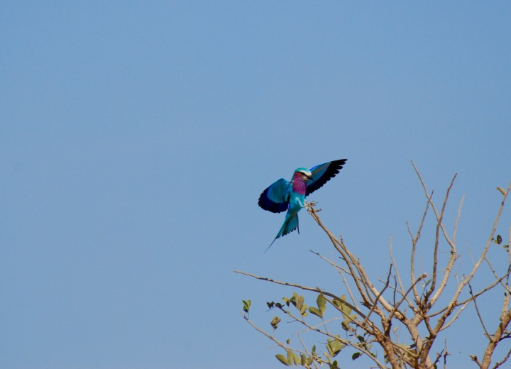 A lilac-breasted roller making a landing