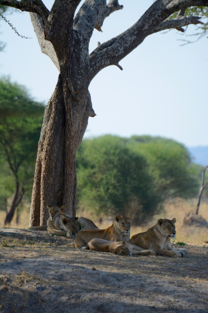 Lions on the watch