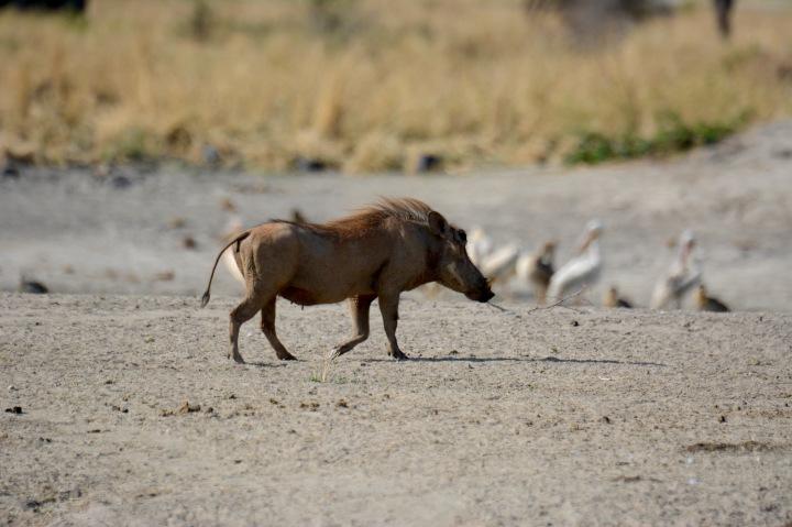 An unsuspecting warthog