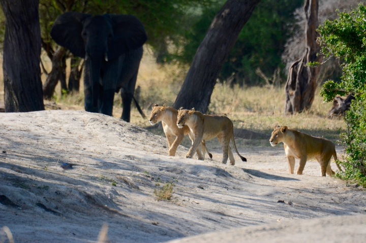 Displaced lions