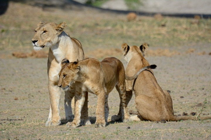 Our small group of lions