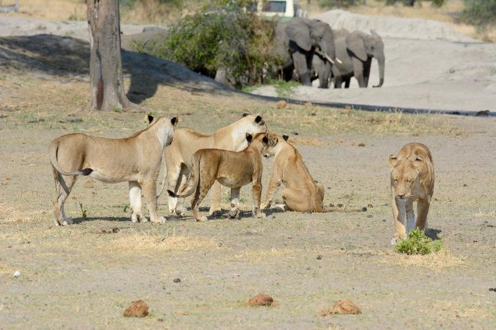 Weary lions