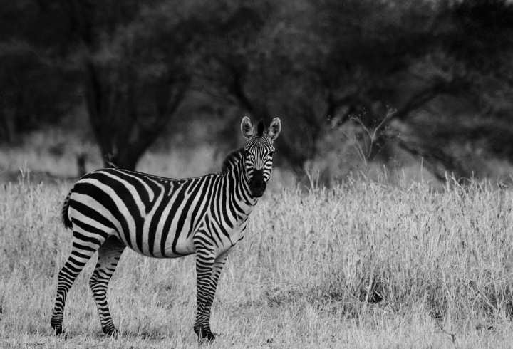 An Attentive Zebra