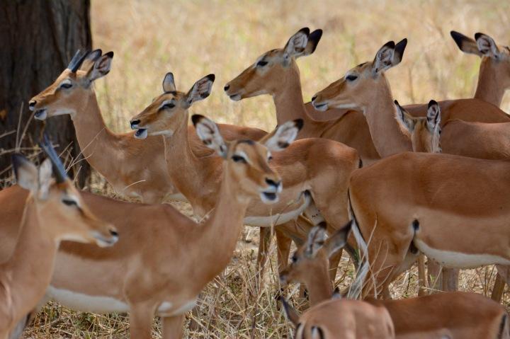 An Impala Harem