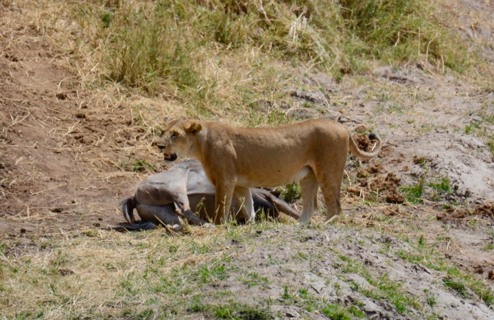 A Lioness and Her Kill