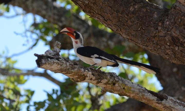 A Greater Hornbill