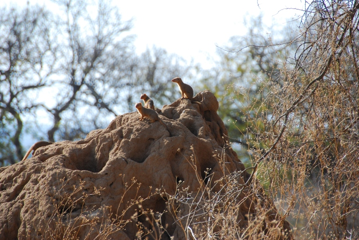Dwarf mongooses atop their termite mound home