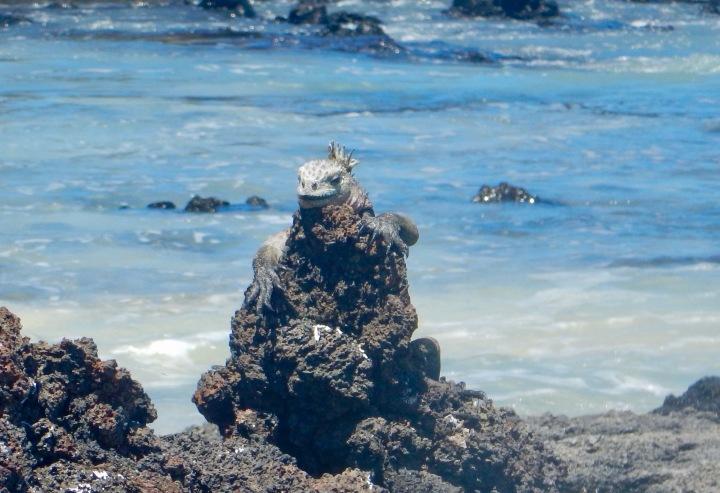 A basking marine iguana