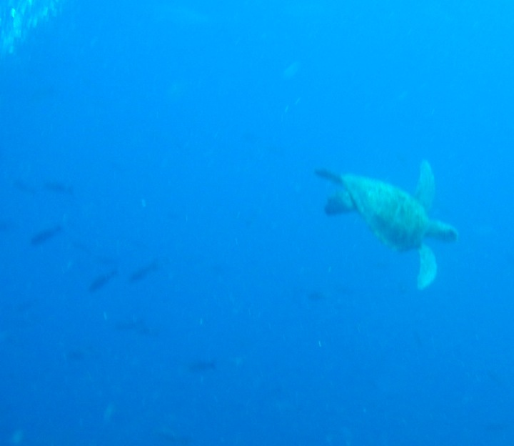 A green sea turtle