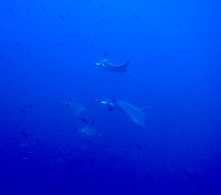 School of manta rays