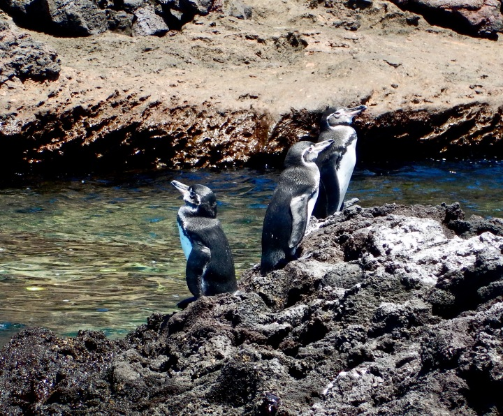 Galapagos penguins on Bartolome Island