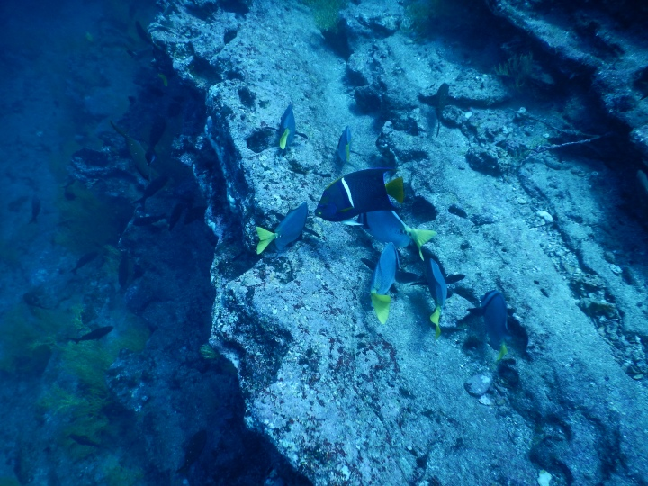 A school of king angelfish