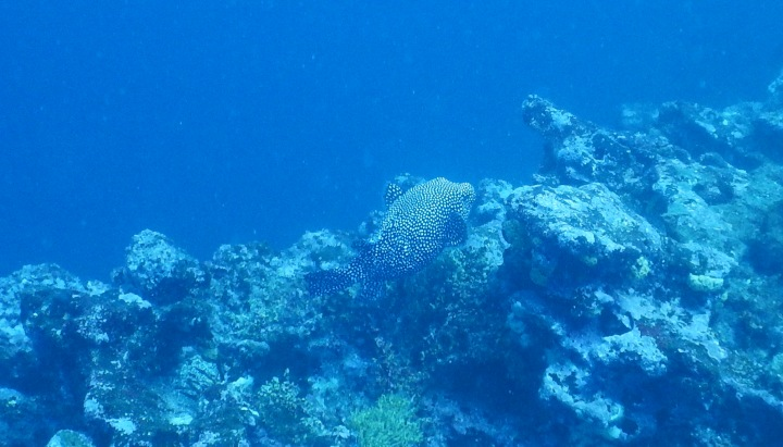 A spotted puffer fish