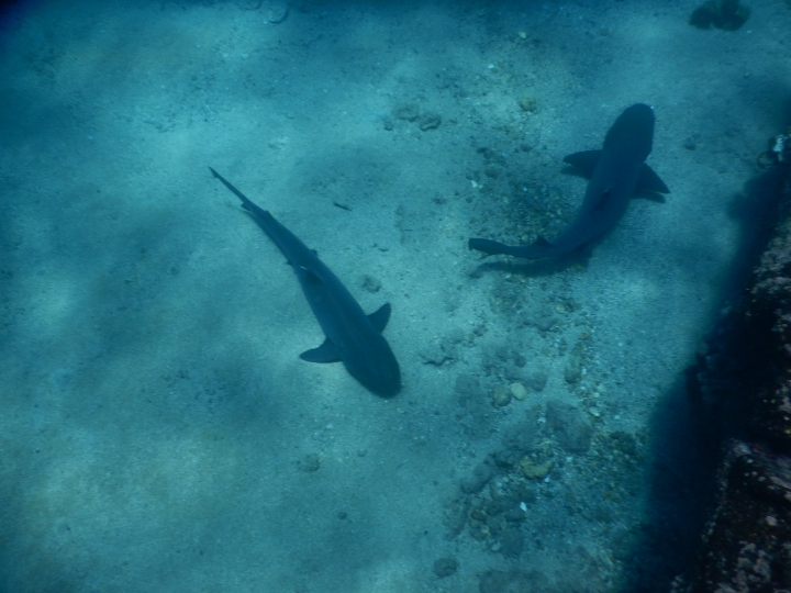 Two sharks resting beneath us