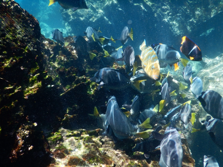 A school of goldrim and razor surgeonfish with a king angelfish and an orangeside triggerfish