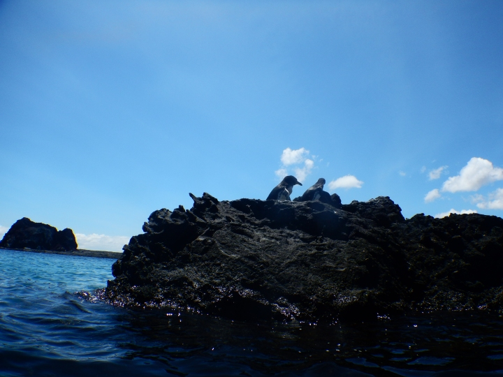 Our Galapagos penguins before jumping in the drink