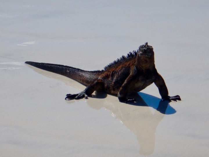 A Marine Iguana crossing the sand