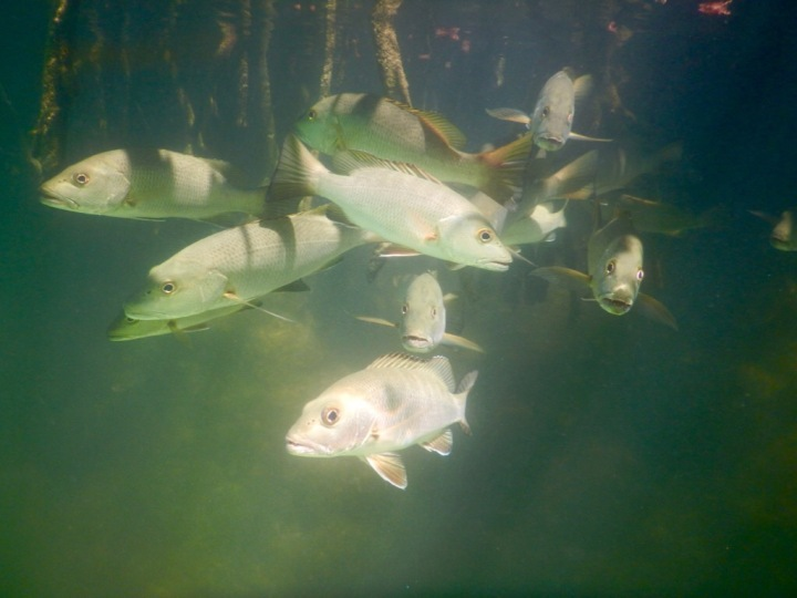 Some native fish among the mangrove roots